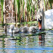 Adult swan and cygnets at Eel Pond, Rye, NH