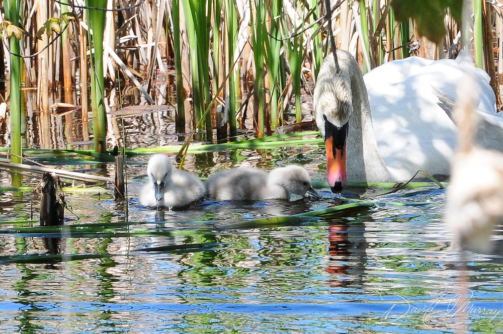 Adult swan and cygnets at Eel Pond, Rye, NH