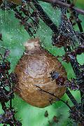 Garden Spider; Argiope aurantia; egg sac; PA, Boyds Mills