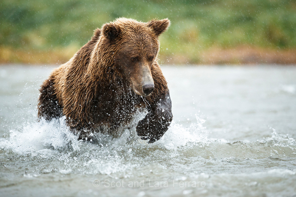 A brown bear concentrates on catching a salmon in Katmai National Park, Alaska.
