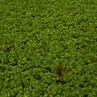 Floating Fern (Salvinia natans), an invasive species, Diyasaru Park, Colombo, Sri Lanka
