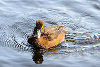 Norway, Stavanger. Female Tufted Duck in Mosvannet lake.