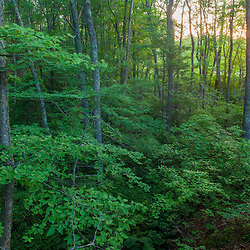 Early morning in the forest at the O.W. Stewart Preserve in Kingston, Massachusetts.