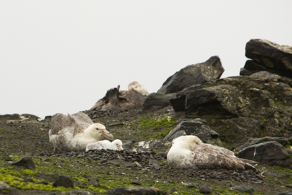 Macronectes gigantes or M. halii, Barrientos Island, Antarctica