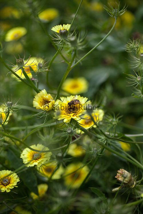 Tolpis barbata - European umbrella milkwort