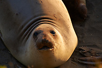 Elephant Seals at Piedras Blancas Beach, Central California Coast. Image taken with a Nikon D3x and 70-300 mm VR lens (ISO 320, 300 mm, f/8, 1/250 sec).