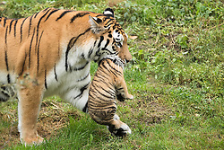 August 12, 2016 - Duisburg, North Rhine-Westphalia, Germany - Tiger Dasha carries one of her twin cubs at the zoo in Duisburg, Germany, 12 August 2016. The cubs were born about six ago and were exploring the outdoor enclosure for the first time. Photo:  Marius Becker/dpa (Credit Image: © Marius Becker/DPA via ZUMA Press)