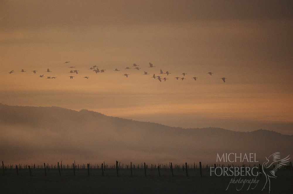 At first light in the Sierra Madre, sandhill cranes fly over pasture lands toward feeding grounds near Laguna de Babicora in the Chihuahuan Desert of northern Mexico.