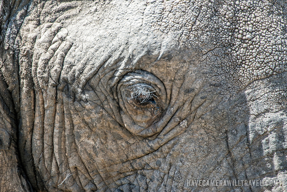 Closeup of an elephant's face and eye at Tarangire National Park in northern Tanzania not far from Ngorongoro Crater and the Serengeti.