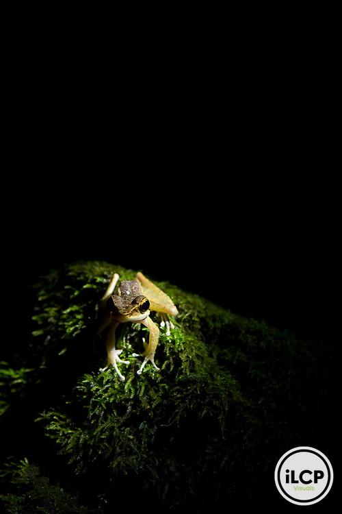 True Frog (Meristogenys sp) at night, Tawau Hills Park, Sabah, Borneo, Malaysia