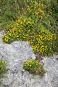 Bright yellow Gorse growing wild on rock on Dartmoor in Devon, UK