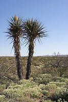 Torrey yucca in bloom, (Yucca Treculeana), Van Horn, Texas.