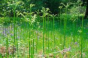 ADFTPE New growth of bracken fronds in deciduous woods in spring