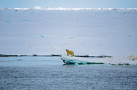 Polar bear on the sea ice in Freemansundet between Barentsøya and Edgeøya in Svalbard, Norway.