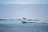 Polar bear on the sea ice in Freemansundet between Barentsøya and Edgeøya in Svalbard, Norway.
