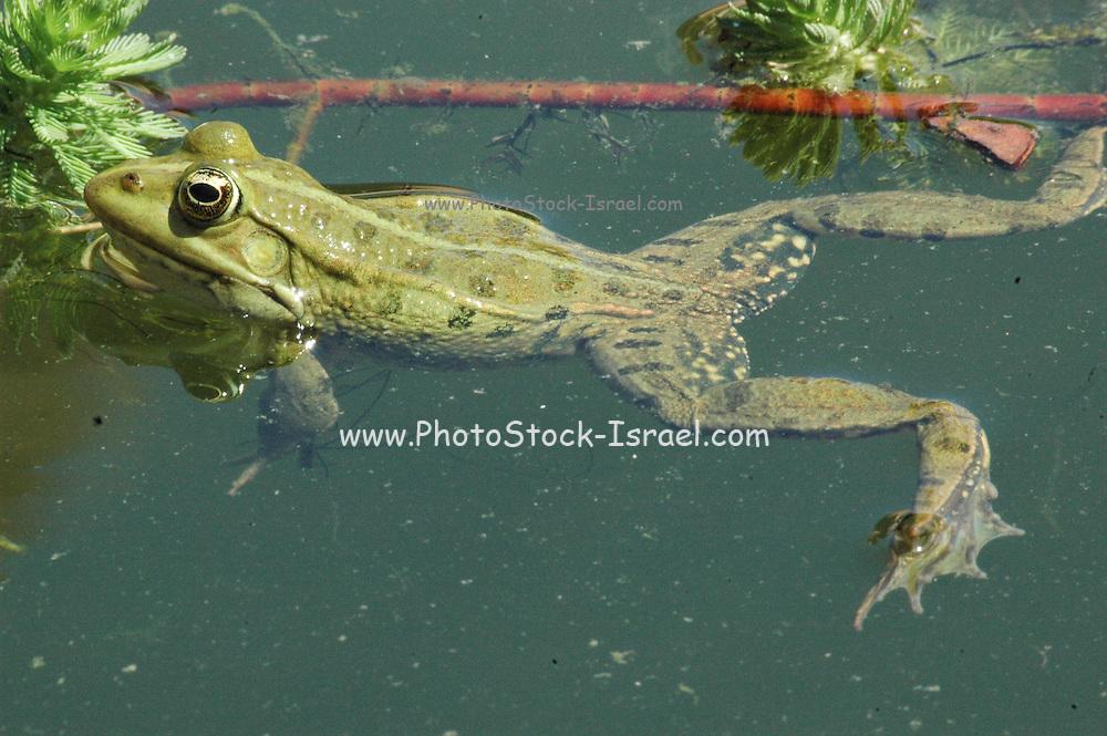 Israel, Marsh Frog (Pelophylax ridibundus)