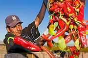 26 OCTOBER 2005 - PEARCE, AZ: Workers harvest chilis on the Curry farm in Pearce, AZ. Ed Curry said this is the most difficult year he has ever had trying to hire season workers to harvest his crop. PHOTO BY JACK KURTZ