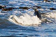 A Yellow-eyed Penguin jumps into the incoming wave as it heads back out to sea, at Stewart Island, New Zealand