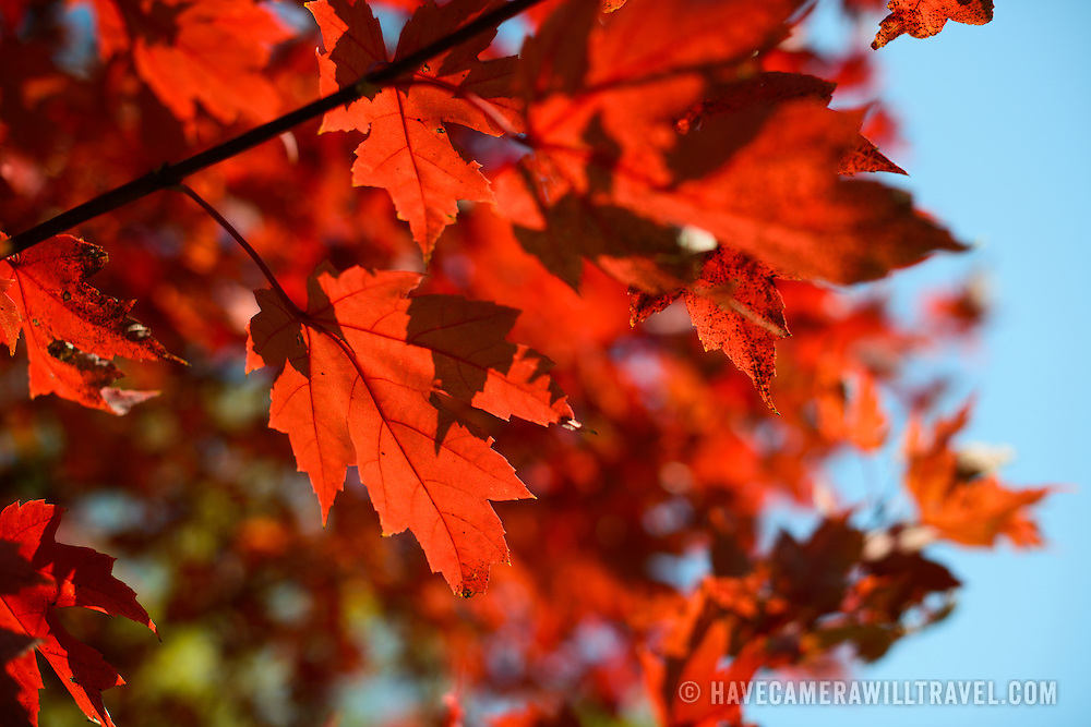 The bright red leaves of a maple tree in the autumn.
