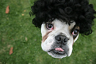"""15th February 2009. Long Beach, California. Beauty may claim to be in the eye of the beholder, especially at the Haute Dog Beauty Contest. Bulldogs, pugs and French bulldogs competed in the annual Pageant to be crowned top-dog. Pictured is Chopper the English Bulldog dressed as famed Australian criminal, Mark """"Chopper"""" Read..PHOTO © JOHN CHAPPLE / REBEL IMAGES..(001) 310 570 9100   john@chapple.biz   www.chapple.biz"""