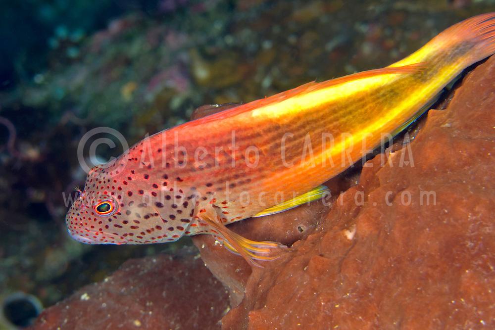 Alberto Carrera, Freckled Hawkfish, Paracirrhites forsteri, Bunaken National Marine Park, Bunaken, North Sulawesi, Indonesia, Asia
