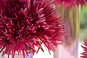 Purple Mauve Chrysanthemum Photographers in Costa Rica, getting married in costa rica, costa rica marriage requirements, costa rica photography, costa rica marriage traditions, wedding cr