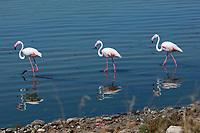 Fenicottero Rosa della Sardegna Foto di uccelli, fauna , natura Foto natura, oasi natualistica di molentargius