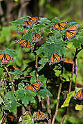 Monarch Butterflies mass at the Monarch Butterfly Biosphere Reserve in El Rosario central Mexican in Michoacan State. Each year hundreds of millions Monarch butterflies mass migrate from the U.S. and Canada to Oyamel fir forests in the volcanic highlands of central Mexico. North American monarchs are the only butterflies that make such a massive journey—up to 3,000 miles (4,828 kilometers).