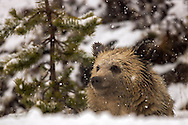 Winter comes early above 8,000 feet, and there's nothing quite like the first snow of the season to fill your eyes with wonder. I know I was excited to see the snow falling and can almost imagine this grizzly cub, known as Snow, felt the same way as he watched his home transform into a winter wonderland.