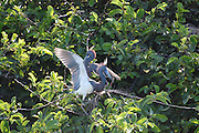 This is a photograph of two Tri-colored Herons in a tree at Wakodahatchee Wetlands, in Delray Beach, Florida.