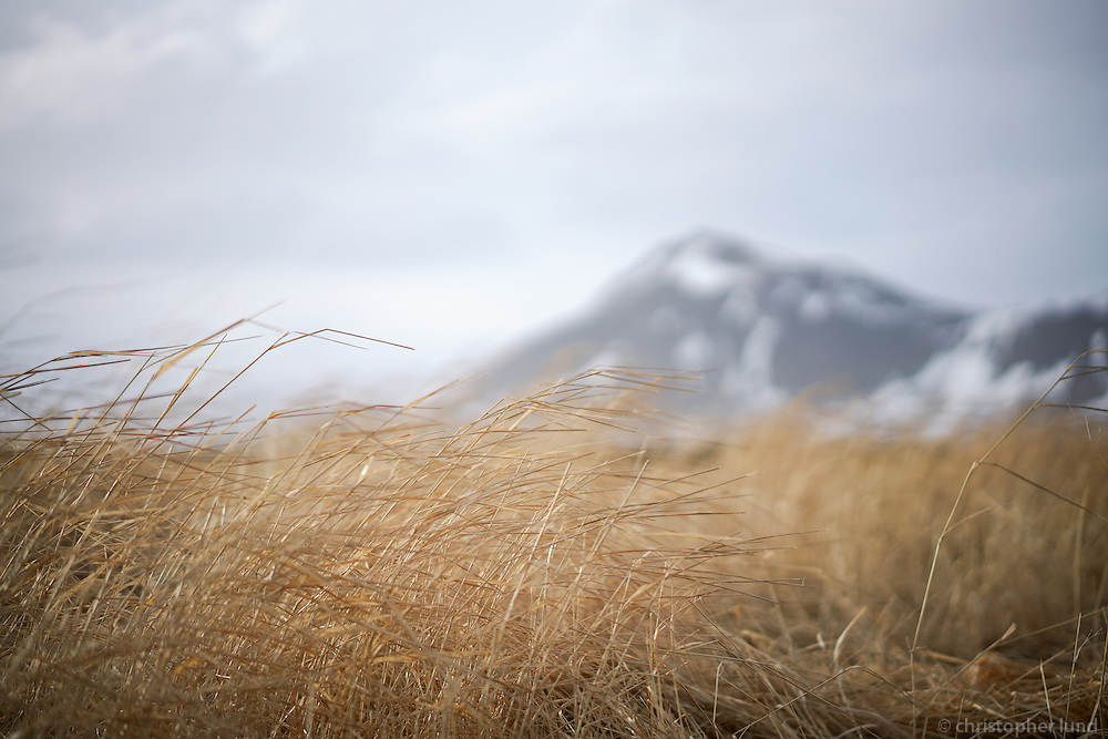Yellow straws at Búðir, Snæfellsnes Peninsula, West Iceland.