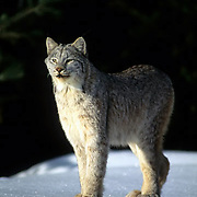 Canada Lynx, (Lynx canadensis) Adult. Rocky Mountains. Winter.  Captive Animal.