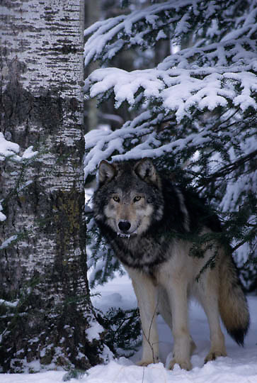 Gray Wolf, (Canis lupus) Adult. Winter. Midwest.  Captive Animal.