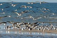 Black skimmers and seagulls landing on sandbar, San Carlos Bay, Florida, © 2015David A. Ponton