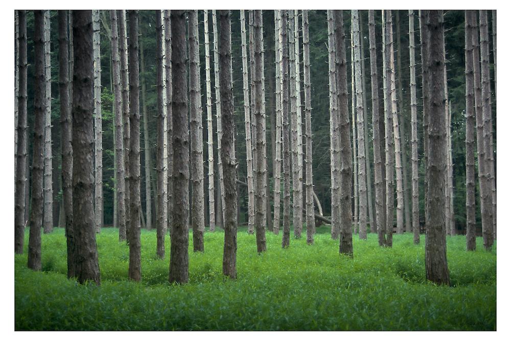 Watchung Pines