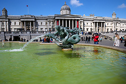 May 4, 2019 - London, UK, UK - London, UK. Trafalgar Square fountains covered in green algae. Recent warm weather in the capital has caused large amounts of green algae to form in the ponds in Trafalgar Square's fountains. (Credit Image: © Dinendra Haria/London News Pictures via ZUMA Wire)
