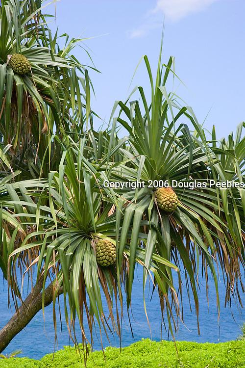 Hala tree,  Hawaii