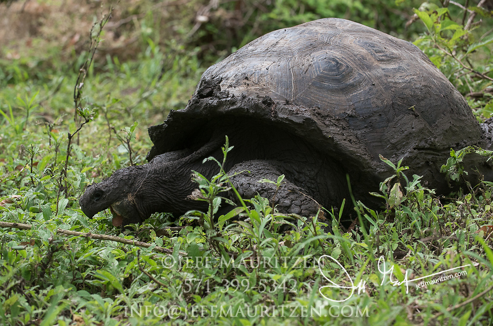 A Galapagos Giant tortoise feeds on low vegetation in the highlands of Santa Cruz island.