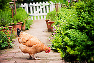 Picture of chicken pecking on garden path in farm garden at Brook Farm Berrington by commercial photographer Ioan Said photography