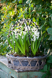 Forced white hyacinths in a shallow container placed within a woven basket under a framework of pussy willow