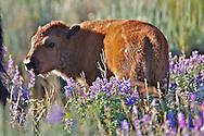 Bison Calf, wildflowers, Grand Teton National Park