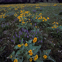 Balsam root and lupine along the west slope of the Bridger Mountains near Bozeman, Montana.