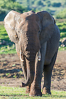 African Elephant bull walking to water, African Elephant, Addo Elephant National Park, Eastern Cape, South Africa