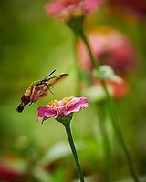 Hummingbird Clearwing Moth Feeding on Zinnia Flowers. Image taken with a Nikon D850 camera and 200-500 mm f/5.6 VR lens
