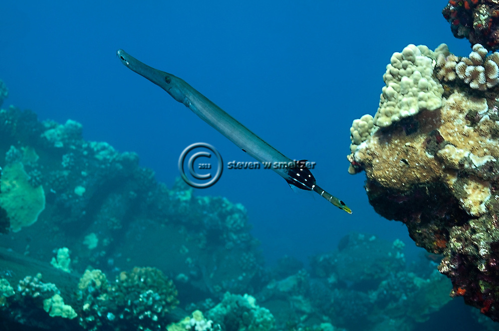 Pacific Trumpetfish, Aulostomus chinensis, (Linnaeus, 1766), Maui Hawaii