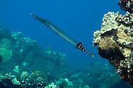 Pacific Trumpetfish, Aulostomus chinensis, (Linnaeus, 1766), Maui Hawaii