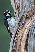 Acorn Woodpecker, Melanerpes formicivorus, male, Santa Cruz County, Arizona