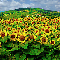 A field of blooming sunflowers on a bright summer day with hill in distance in Italy