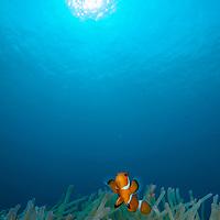 False Clown Anemonefish, Amphiprion ocellaris, Tenggol Island, Tanjong Jara Resort, Terengganu, Malaysia.