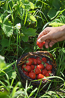 Man picking strawberries close-up of hand